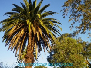australia sydney palm strategicalblog