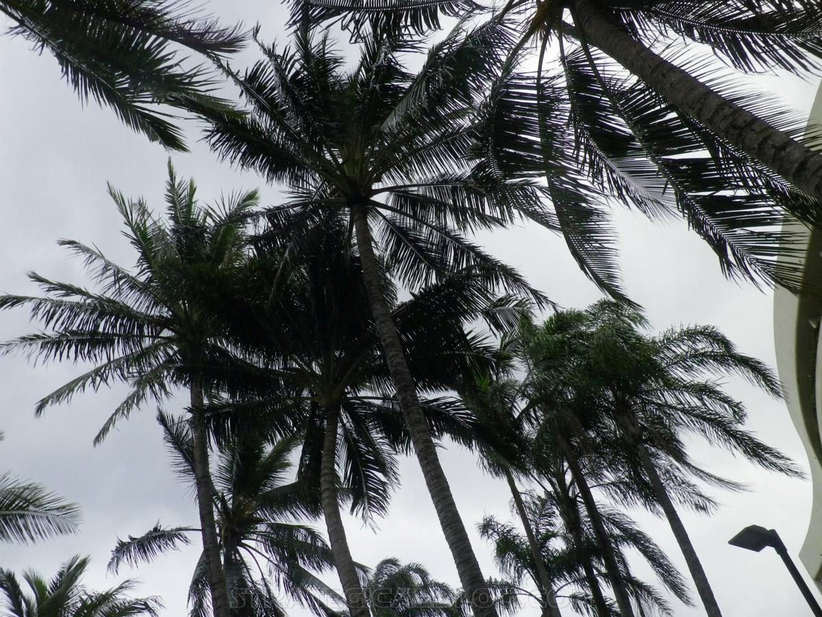 cairnswinter palm trees (3)