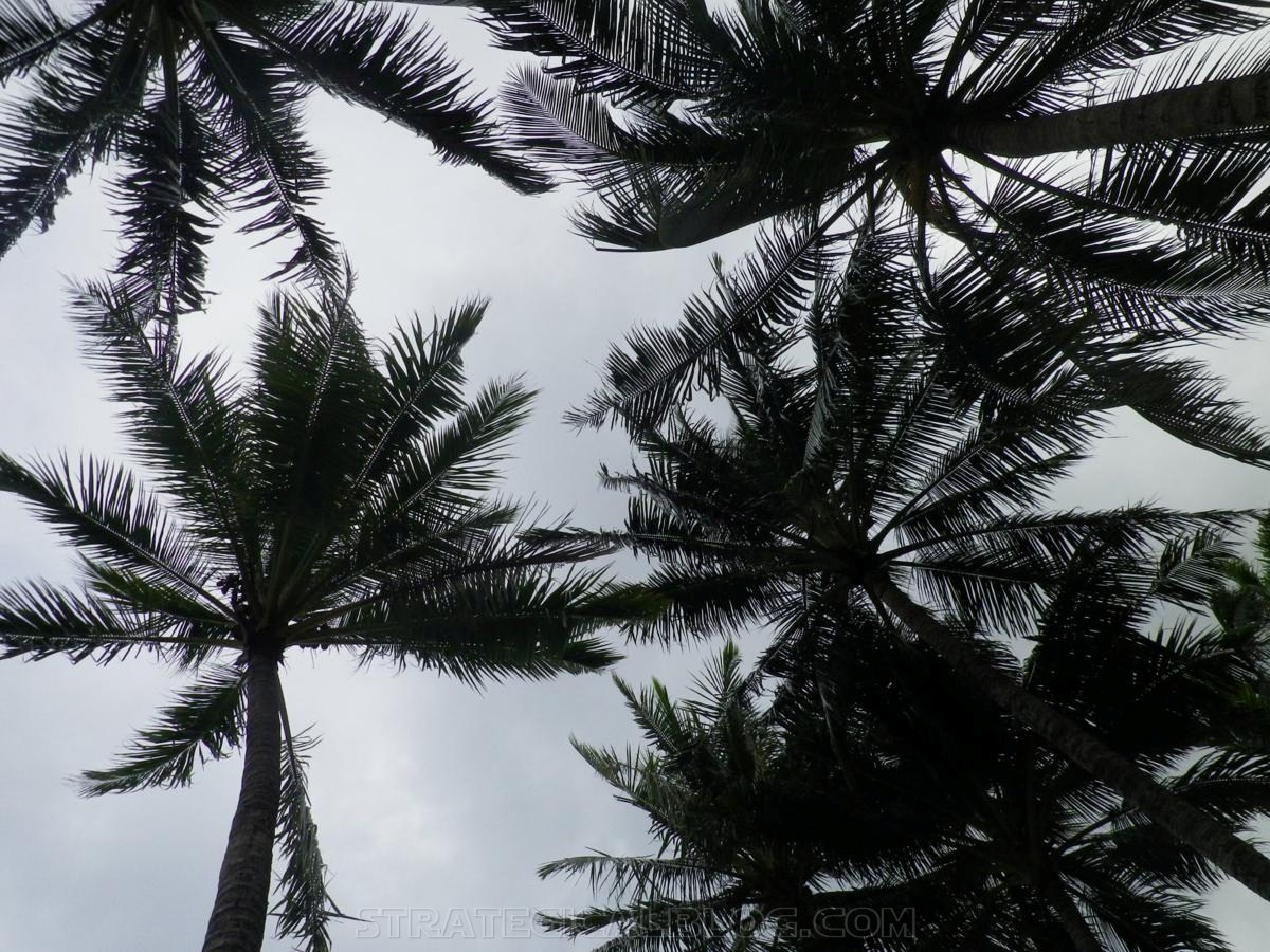 cairnswinter palm trees (4)