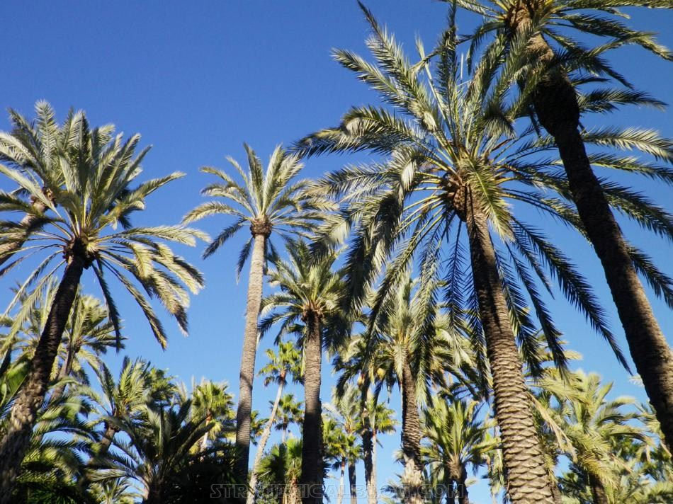 elche palmera strategicalblog (9)